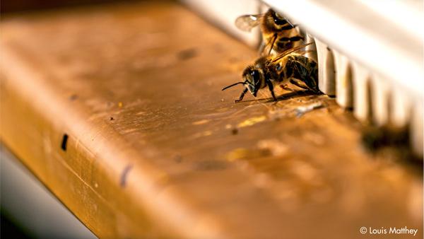 Abeilles de Thomas Lüthi, apiculteur bio (photographiées par Louis Matthey).