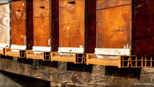 Ruches de Thomas Lüthi, apiculteur bio, par Louis Matthey.