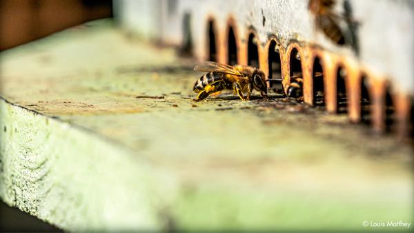 Abeille sur une ruche, production de miel biologique de Thomas Lüthi (photographie de Louis Matthey).
