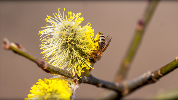 Abeille sur une fleur (photographiée par Louis Matthey)