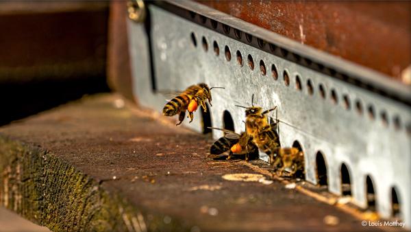 Abeilles des ruches de Thomas Lüthi, apiculteur bio (photographie de Louis Matthey).